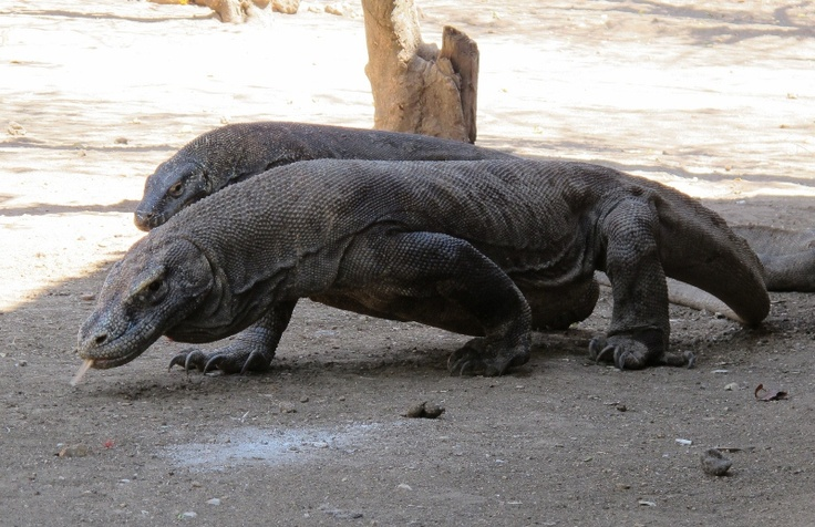 See the #komododragons up close and with local guides on Rinca Island, Komodo, #Flores..... #responsibletourism