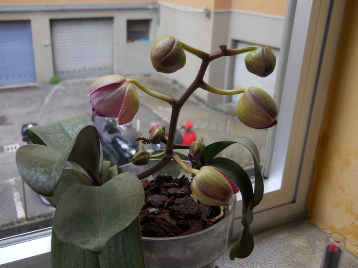 My orchid's flowers are opening.