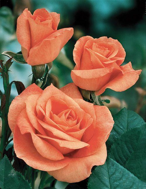 ~Tropicanna Climbing Rose - Veseys