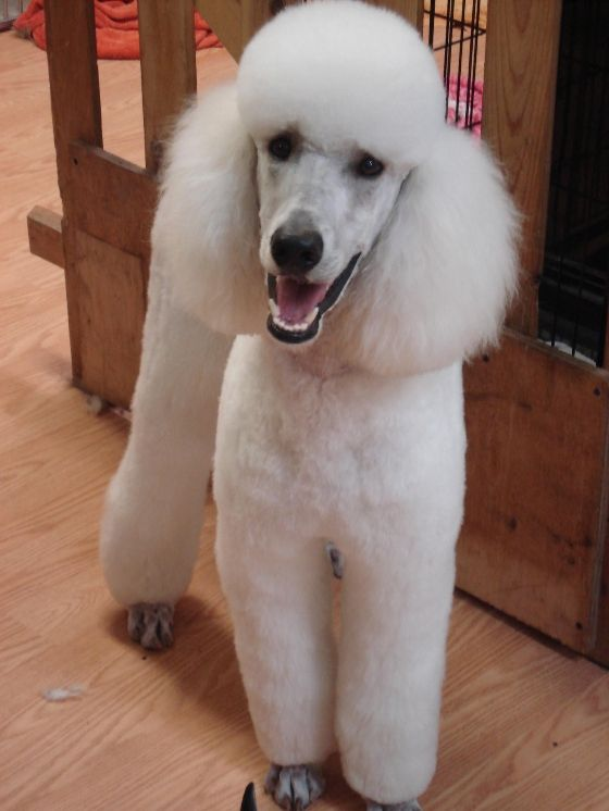 pretty white standard poodle ...........click here to find out more http://googydog.com