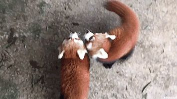 Baby red panda feeding time. (via aki_safariland)