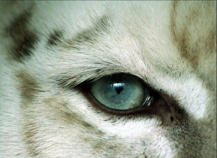 Výsledkem obraz pro bílý tygr oko zblízka