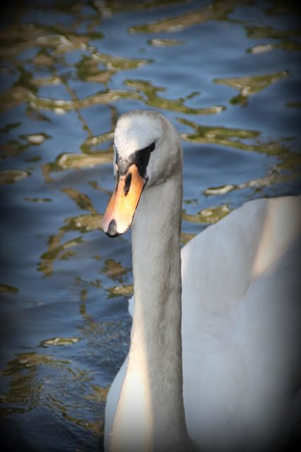 Captured  moments: Swan