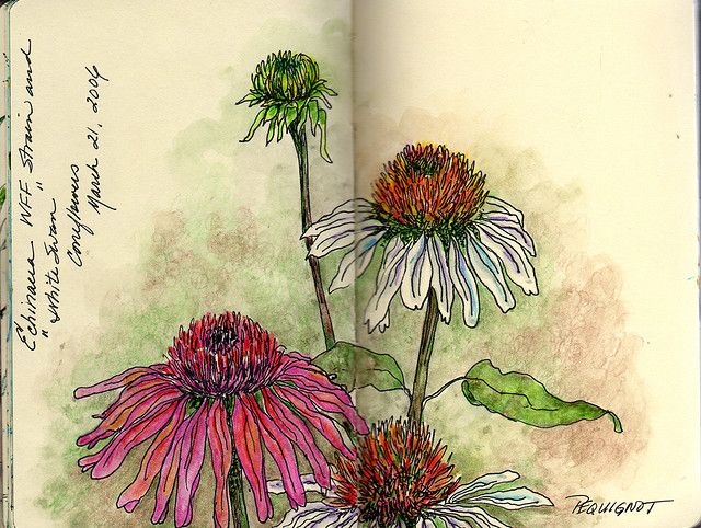 Coneflower Study❤  Original Art by ©Kathleen Pequignot Studio318