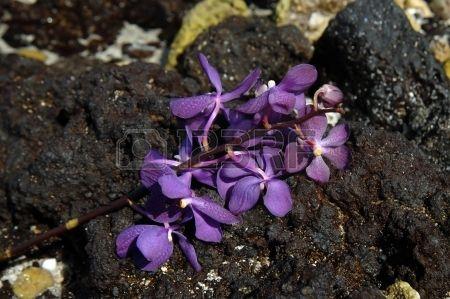 Hawaii - Stelo di orchidee viola pone scartato su una spiaggia Kona Rocce di lava nera fanno da sfondo per i  Archivio Fotografico