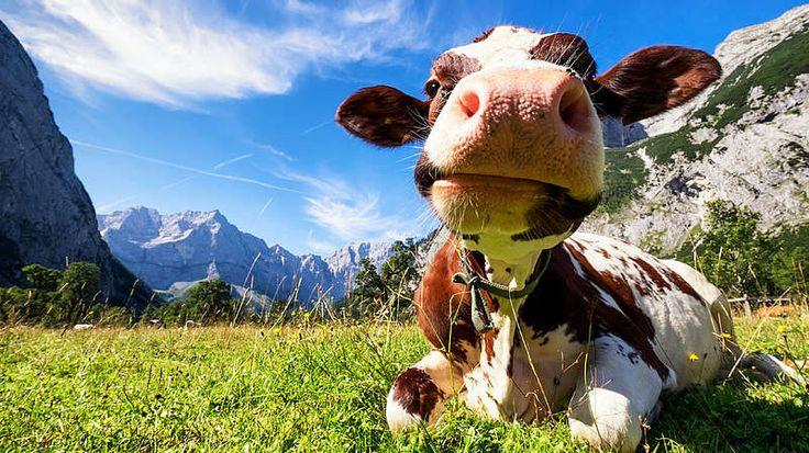 Kuh-Autos stoßen Kohlendioxid (CO2) aus, Kühe Methan (CH4), das bei ihrer Verdauung entsteht. Beides sind Treibhausgase, die sich in der Erdatmosphäre anreichern – und so zur Erwärmung des Klimas führen. Wobei Methan in dieser Funktion sogar 20 bis 30 Mal schädlicher ist als CO2. Wäre es also nicht sinnvoll, nicht nur Autos, sondern auch Kühe umweltfreundlicher zu machen? Wissenschaftler haben einen Weg gefunden, die Abgase einer Kuh zu messen und entwickeln eine Art Magenpille, um den…