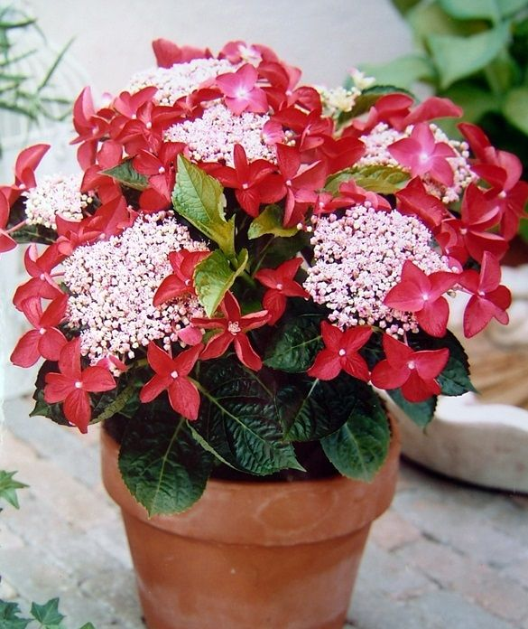 Hydrangea Strawberries and Cream in a Clay Terracotta Pot #foliage #festivegift #bushyflowers