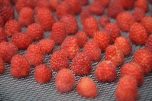Frambozen drogen / Dehydrating raspberries