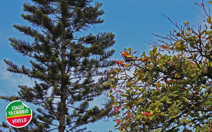 Amanece en nuestro municipio con una visita muy especial, hermosas Guacamayas en el renovado parque principal de Itagüí.