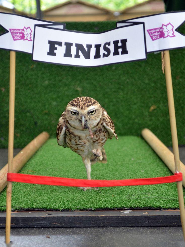 "The ""racing"" owl"
