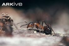 Formica rufa (Southern wood ant)