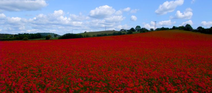 Poppy field near Kidderminster