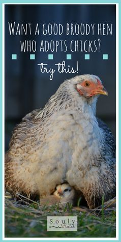How to Successfully Encourage a Broody Hen to Adopt Chicks broody hen adopting chicks | are broody hens good | will hens adopt chicks | homestead | the simple life | SoulyRested.com