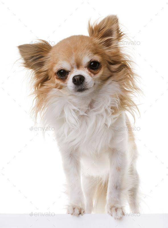 Chihuahua In Studio Chihuahua Dogs