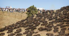 Native Americans attempting to stop a pipeline from being built on their land and water just got assistance from a large herd of wild buffalo.