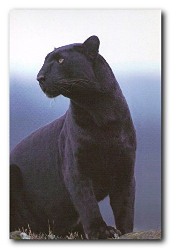 Decorate any room in your sweet home with this Black Panther picture art print poster. The bright rich color of this poster will compliment any room in your home. This poster depicts the image of a Black Panther looking at something with his big brown eyes which will make this wall art a conversation piece. This poster can be put on your drawing room wall to showcase how you plan to take over the challenges that life throws at you. It will be perfect for any wildlife animal lover.