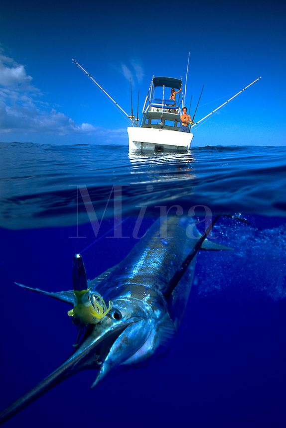A fishing lure in its mouth this blue marlin. - Seatech Marine Products & Daily Watermakers