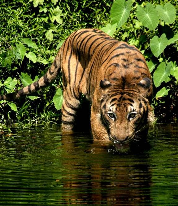 The Malayan tiger (Panthera tigris jacksoni) was only identified as a separate subspecies from the Indochinese tiger in 2004. Although very similar to the Indochinese tiger, the Malayan tiger is smaller in size. It is found exclusively in the moist subtropical forests in the southern tip of Thailand and peninsular Malaysia in Southeast Asia, according to Panthera, Inc.  (Kitsen - Dreamstime)