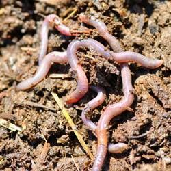 earthworms in the dirt