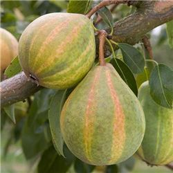 Now, from eastern Europe, comes a new pear called Humbug ('Pysanka') – and it's striped.
