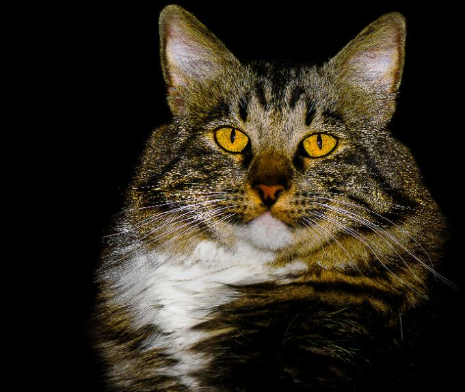 American Bobtail Cat Breed Information, Pictures, Characteristics ...
