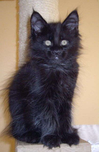 Gorgeous black maine coon kitten male from rockoon maine coons