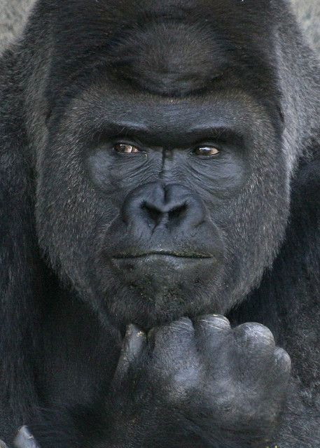 ~~the thinker, a portrait ~ gorilla by shuttershrink~~