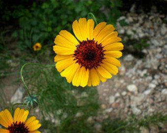 Semi di fiori Sweet William perenne attrarre colibrì e