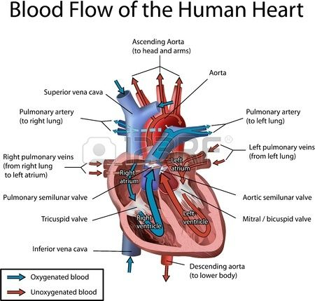 Human Heart Blood Flow Illustration with annotation isolated on white background.