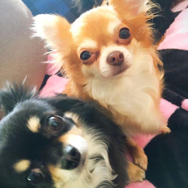 アロハ🐶ハピネの陰に隠れてティアも🐶📷 #チワワ #Chihuahua #犬 #dog #愛犬 #胸毛ふさふさ #もんもん毛ふさふさ #てぃあ #ペットショップ #売れ残り犬 #あろは #世界チャンピオンの血 #血統を守るブリーダー #はぴね #パピーミル #保護犬 #悪徳ブリーダー #ブラックタンチワワ #レッドチワワ #可愛いわが子 #溺愛 #親バカ #ワンコは家族 #可愛いショット