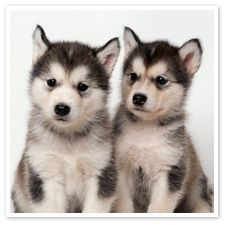 Twin Alaskan Malamutes I WANT ONE ONE DAY!!