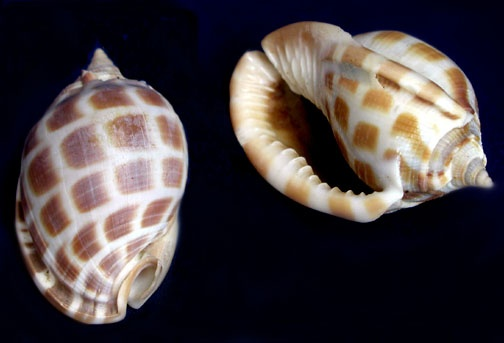 Checkerboard Bonnet 2in. Phalium areola seashells.  This smaller bonnet features a smooth white base with clear and defined brown checkerboards. Common to Eastern Africa to Melanesia and Samoa.   Found offshore on sandy mud.