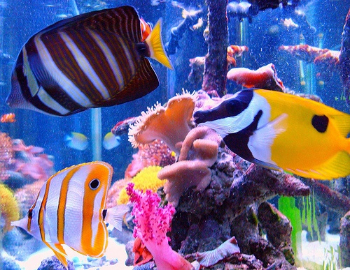 Fish and photos on pinterest for Saltwater pet fish