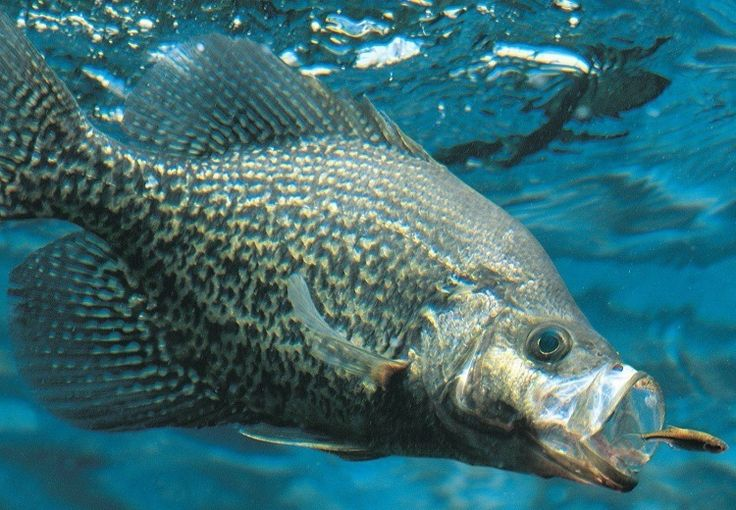 Walking down the isles of atackle shop or sporting goods store and trying to choose the best crappie lurescan be confusing. There are hundreds of choices in different colors and sizes. It can be hard to know which ones will work as the best crappie bait on your local lake. More experienced anglers will tell you to fish what you have confidence in, and this usually works fairly well, if you have done a lot of fishing. But, for new anglers without a lot of experience with different lures…