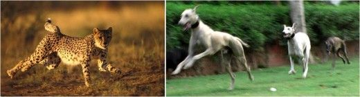 Caravan Hounds use single paw to land on surface, Like Leopards.