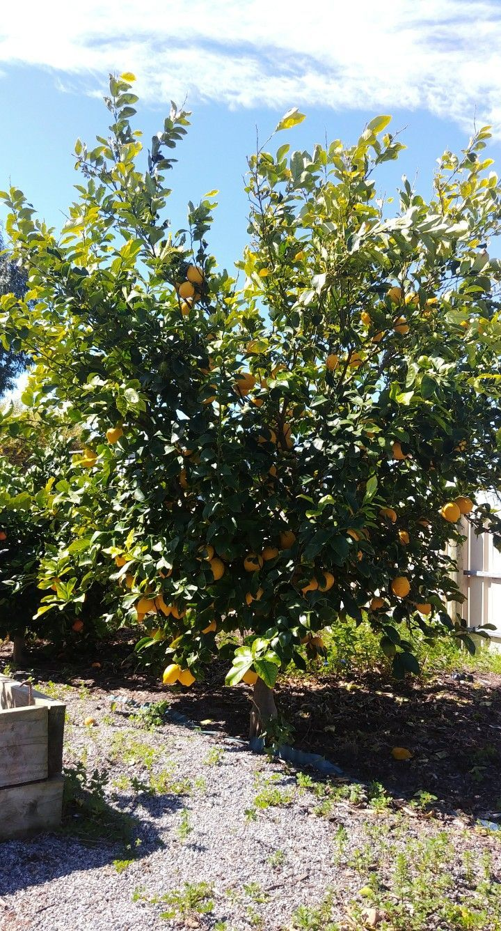 This Tree Is Breath Taking I Am A Fan Of Everything That Is Lemon Lemon Tarts How To Grow Lemon Lemon Tart Hawthorn Tree
