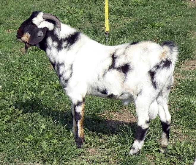 Boer Goat | Boer Goats/ Meat Goats - For Sale Ads