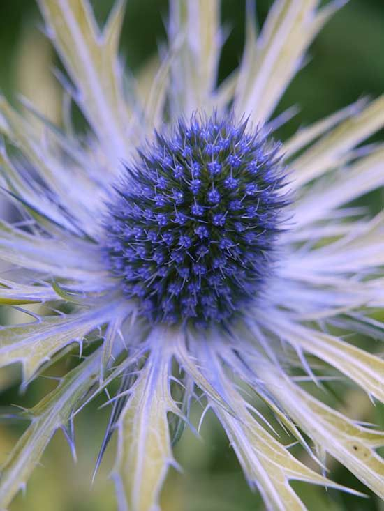 What's not to love about the first golden-leaf version of sea holly? 'Neptune's Gold' earned rave reviews at the prestigious Chelsea Flower Show in 2014 and is now available to gardeners in the U.S. Bright yellow, spiny leaves emerge in spring and fade to chartreuse, followed in summer by steely blue flowers surrounded with silver and gold bracts. Like many eryngiums, this showstopper grows best on the dry side, forming a sharp and colorful statement along sidewalks or driveways. Plant…