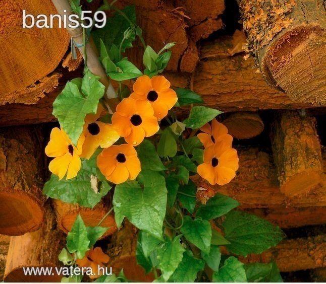 szárnyas feketeszem - 350 Ft - Nézd meg Te is Vaterán - Virágmag, virághagyma - http://www.vatera.hu/item/view/?cod=2204489387