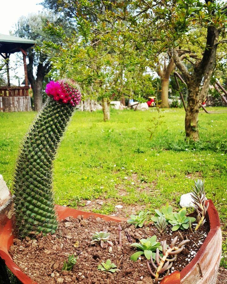 ... #günaydınnnnn 😊 dikenlerin arasından bu çiçekler açabiliyorsa . ..daha ne güzelliklere gebe kim bilir hayat 😊 ..mutlu bir hafta olsun ...#gülümse  #adrasan #adrasandenizhotel #kaktusdunyasi #mavi #yeşil #huzur #doğa #aşk #umut #manzara #muhteşem #bahçe #antalya  Www.adrasandenizhotel.com