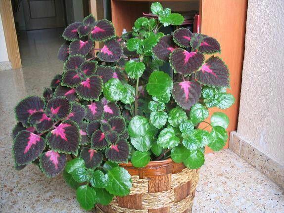 más de 25 ideas increíbles sobre coleo planta en pinterest