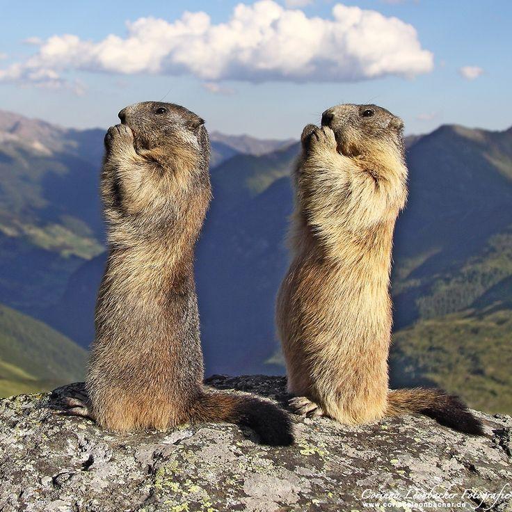 Alpine marmots - Marmota marmota
