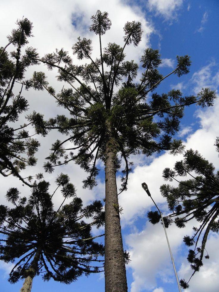 Pinheiros-do-Paraná (Araucaria augustifolia) em Caxias do Sul, no Rio Grande do Sul, Brasil.  Fotografia: Ricardo Frantz.