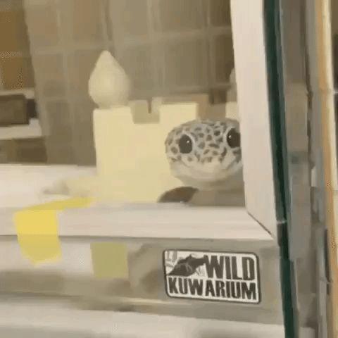Popular GIF | Leopard gecko, Gecko, Funny gif