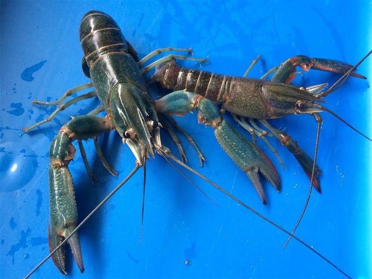 17 Best Images About Raising Crawfish On Pinterest