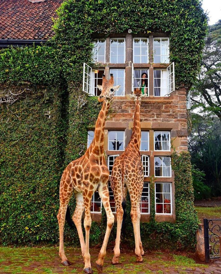 Giraffe Manor, Kenya, Africa ❤️ ❤️ ❤️ follow our friends - @runway_waiters Tag your friends :Corrine_t