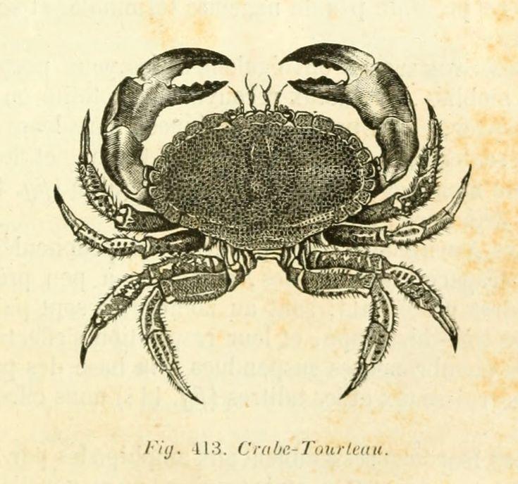 dessins scolaires zoologie - Dessins scolaires zoologie 525 crabe tourteau - Gravures, illustrations, dessins, images