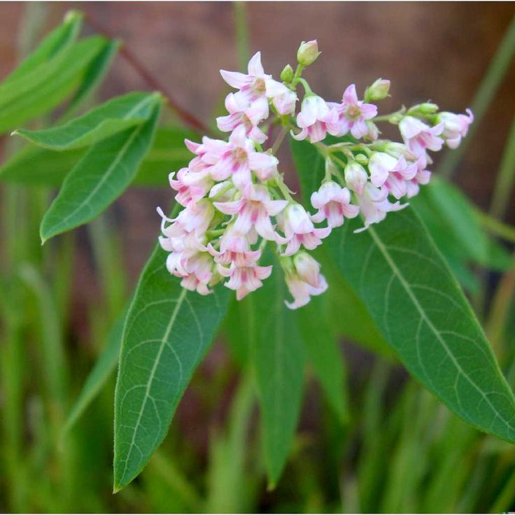 Apocynum androsaemifolium - Apocyn à feuilles d'Androsème ou Herbe à puce, Spreading Dogbane