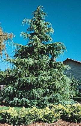 Google Image Result For Http://www.guzmansgreenhouse.com/california . Christmas  TreesLandscapingGoogle ImagesBackyard