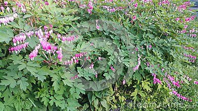 Shrub with beautiful flowers in June summer in Siberia in Russia